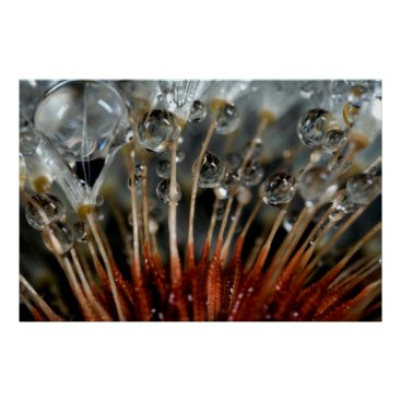 USA Themed Dandelion and water drops, CA Poster