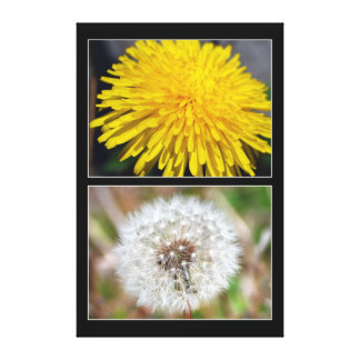 Dandelion Before and After Canvas Print