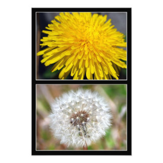 Dandelion before and after print