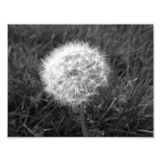 Dandelion black and white macro Photo poster