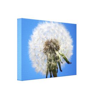 Dandelion Clocks White Flower Canvas Print