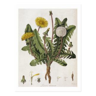 Dandelion (colour engraving) postcard