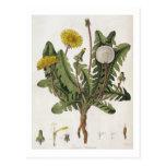 Dandelion (colour engraving) postcards