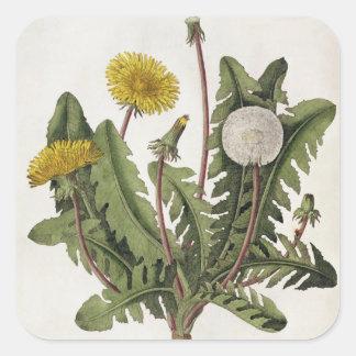 Dandelion (colour engraving) square sticker