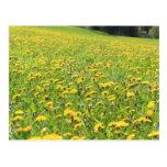 Dandelion field postcard