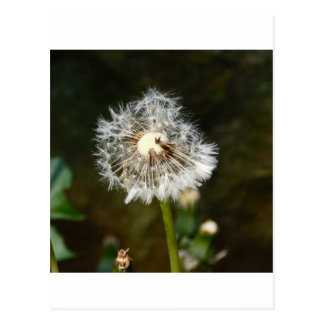 Dandelion Flower Post Card
