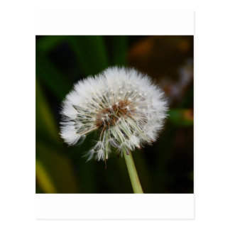 Dandelion Flower Post Cards
