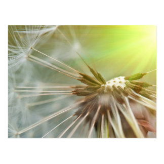 Dandelion Flower Postcards