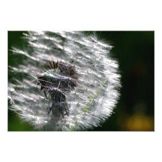 Dandelion Head Seed - Photo Print