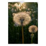 Dandelion in sun card