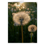 Dandelion in sun greeting cards