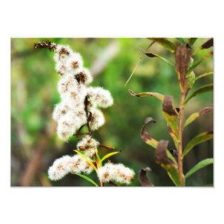 Dandelion Plant Photo Print