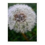 Dandelion Post Card