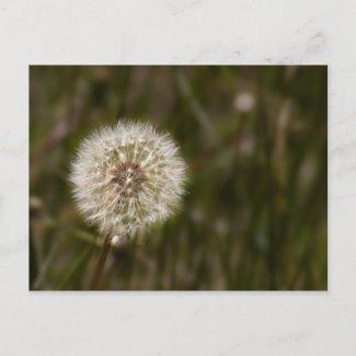 Dandelion Postcard postcard
