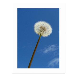 Dandelion - Postcard