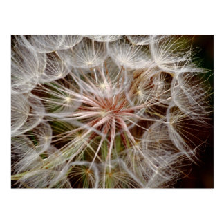 Dandelion Seed Macro Postcard