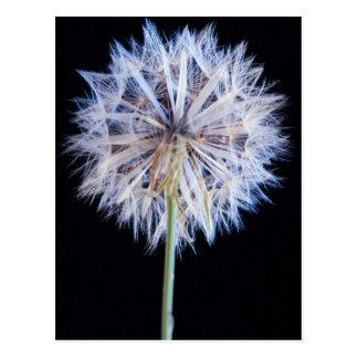Dandelion (Taraxacum Officinale) Seed Head Postcard