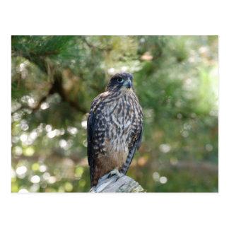 Dangerous Falcon On Falling Tree Looking For Targe Postcard