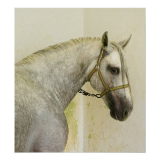 Dapple Gray Andalusian Horse Poster