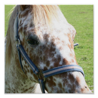 Dappled Appaloosa Horse  Poster