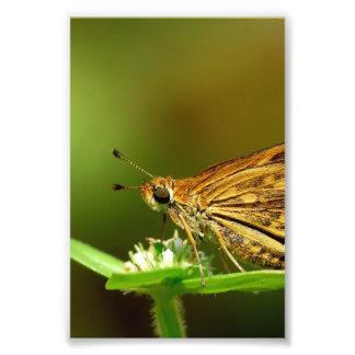 Dardo de la hierba del Tamil de la mariposa con el Cojinete