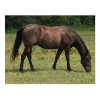 Dark Bay Horse Grazing Postcard