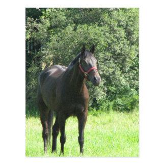 Dark Bay Horse Postcard