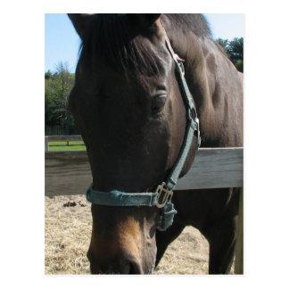 Dark Bay Thoroughbred Horse Postcard