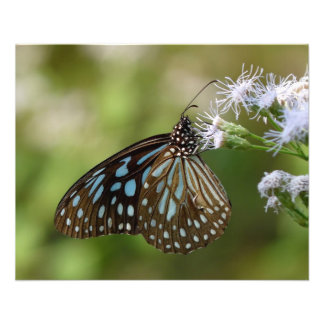 Dark Blue Tiger Butterfly (Tirumala Septentrionis) Flyer