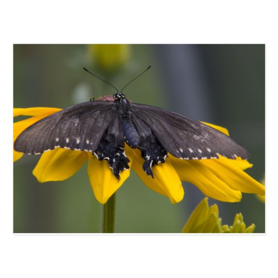 Dark Butterfly on Yellow Flower Postcard