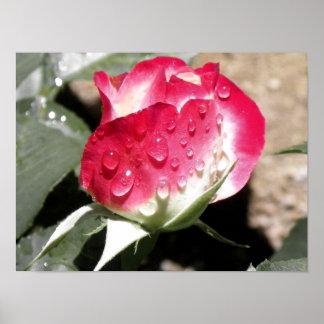 Dark Colored Wet Rose Poster
