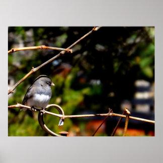 Dark-Eyed Junco Sparrow on Branch Poster