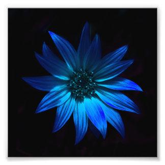 Dark Gerbera Daisy Print - Blue Photo