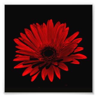 Dark Gerbera Daisy - Red Photo Art