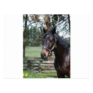 Dark Lipizon Horse Postcard