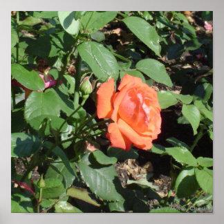 Dark Orange Rose Poster