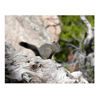 Dark Pine Squirrel on Weathered Log Postcard