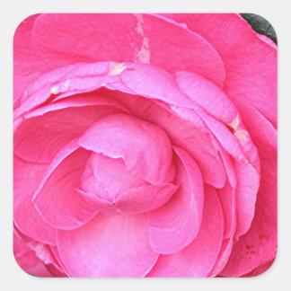 Dark pink camellia flower in bloom in garden square sticker