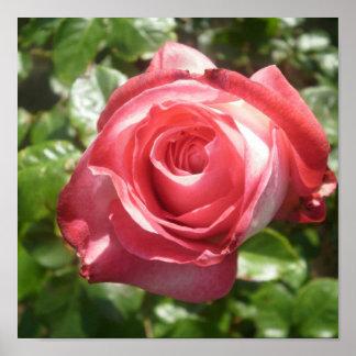 Dark Pink Rose Poster
