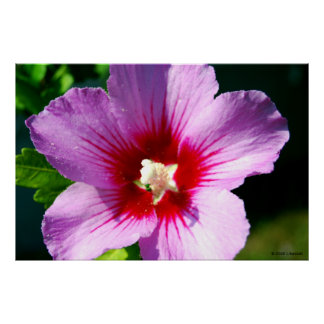 Dark purple Rose of Sharon Poster