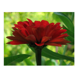 Dark Red Zinnia Postcard