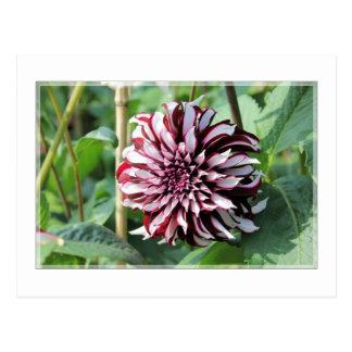 Dark scarlet brown magenta dahlia photo postcard