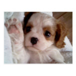 Darling Cavalier King Charles Spaniel,puppy Post Cards