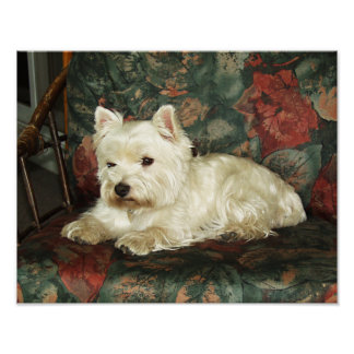 Darling Resting West Highland Terrier Value Print