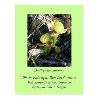 Darlingtonia californica postcard
