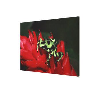 Dart frog 2 canvas prints
