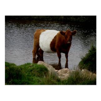Dartmoor Belted Galloway Cow Standing In River Postcard
