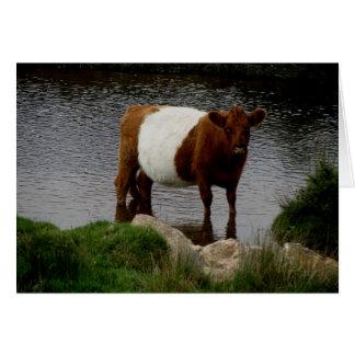 Dartmoor Belted Galloway Standing In River. Card