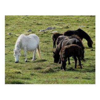 Dartmoor Ponies Grazeing Summer Post Cards