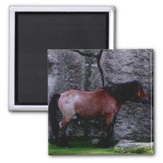 Dartmoor Pony Sheltering Bone Hil Rocks Magnet